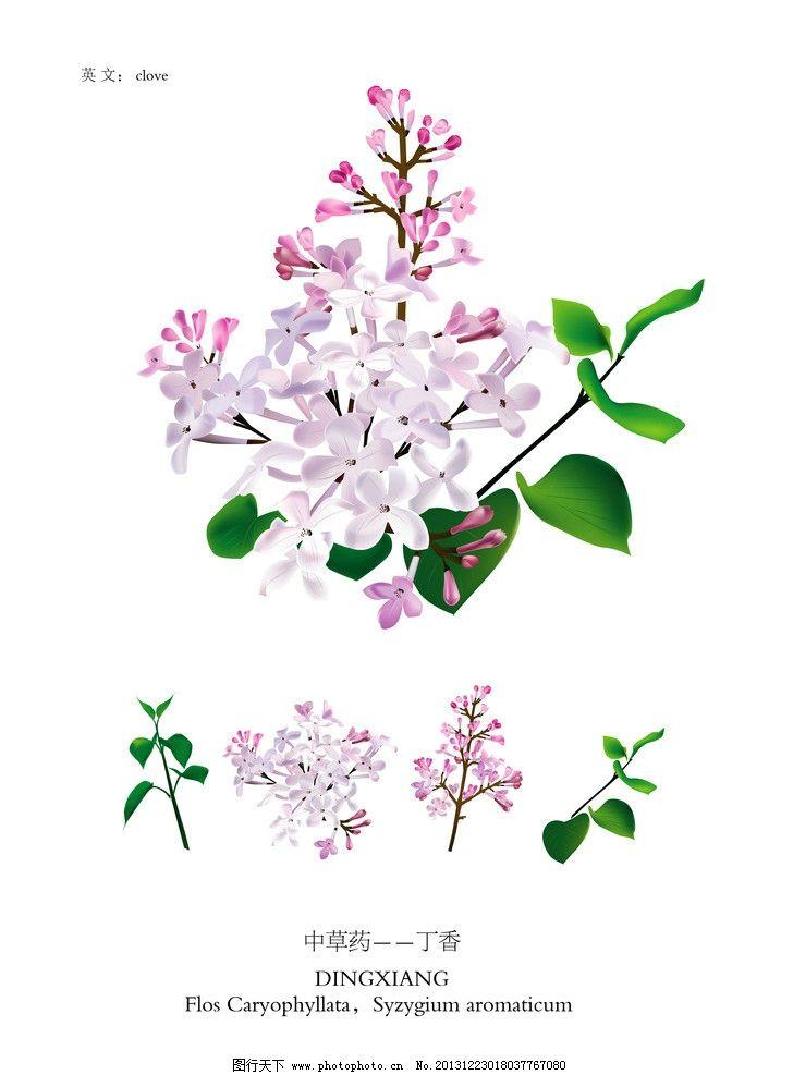 中草药 紫丁香花 丁香花 紫丁香 花 植物药 植物 漂亮的花 矢量花