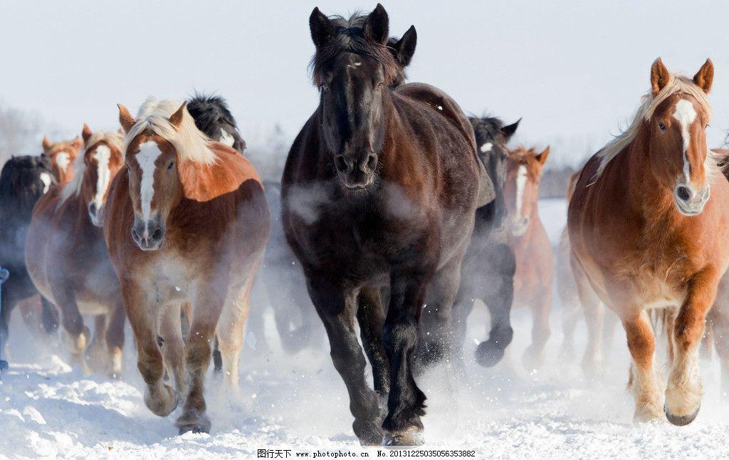 奔驰 马群 马 奔腾 雪地 飞奔 奔跑 动物 保护动物 生物世界 野生动