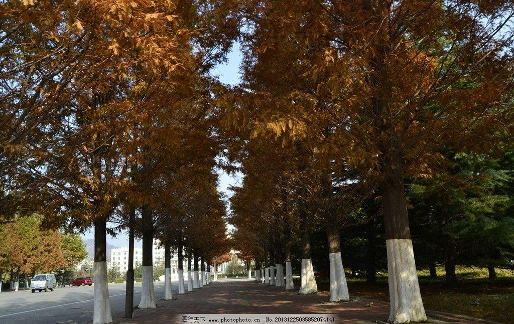 秋季松树 秋季 松树 挺拔 校园 大树 耸立 哈工大 树木树叶 生物世界