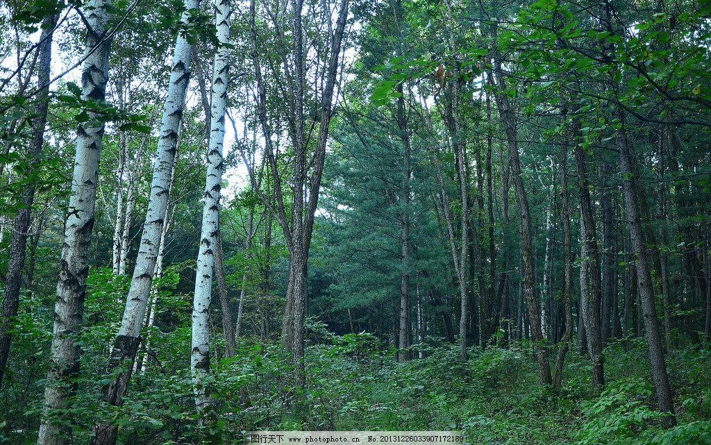 树林景色 树林 绿树 白桦树 乔木 灌木 国内旅游 旅游摄影 摄影 72dpi
