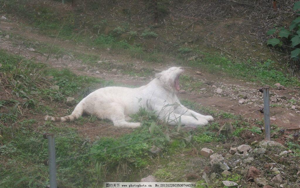 白虎咆哮 重庆 永川 动物园 猛兽 野生动物 生物世界 摄影