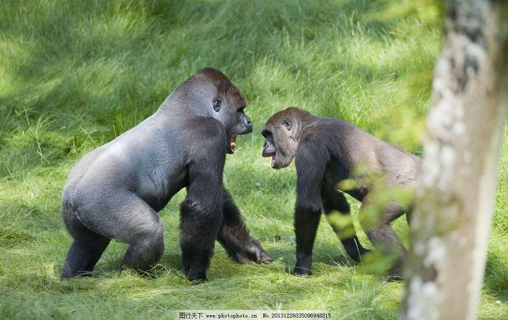 猩猩 黑猩猩 狒狒 智商动物 猴子 打架 草地 草坪 草皮 野生动物 生物