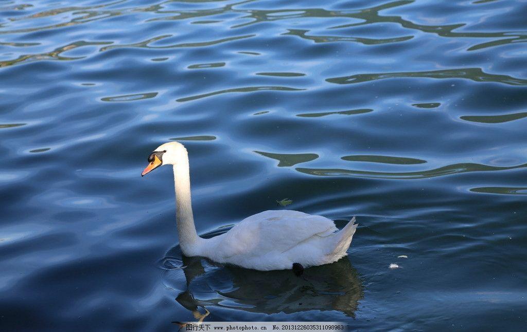 咏鹅 河水 小河 波浪 波纹 动物 天鹅 野生动物 鸟类 生物世界