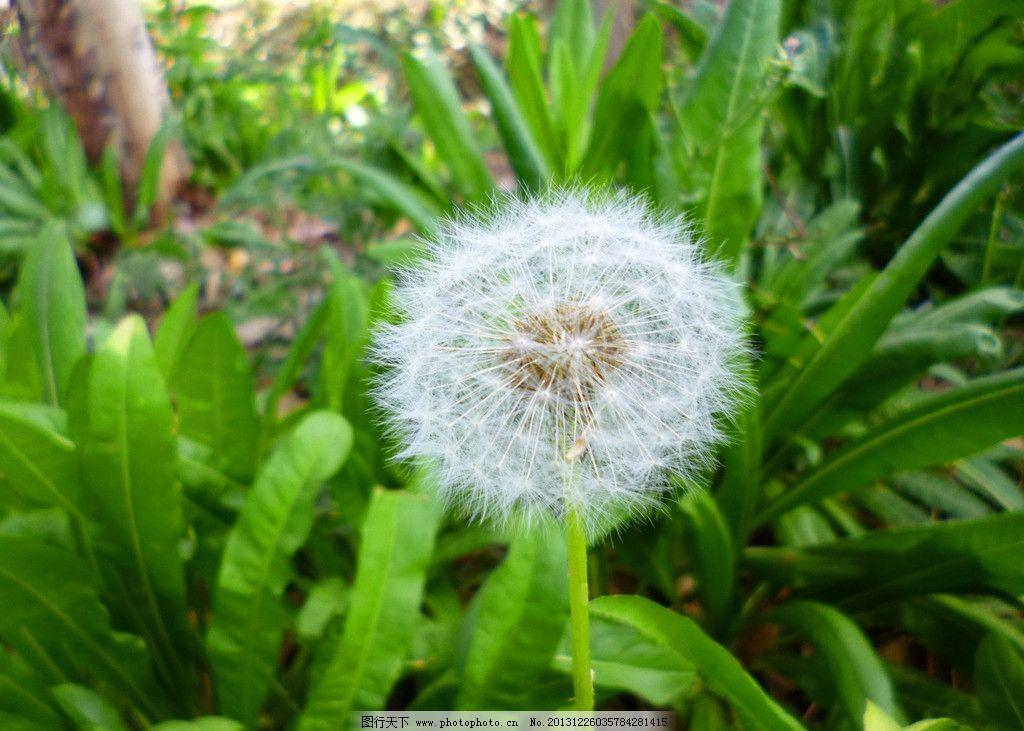 蒲公英 花草 叶子 植物 小草 药材 野生植物 生物世界 摄影