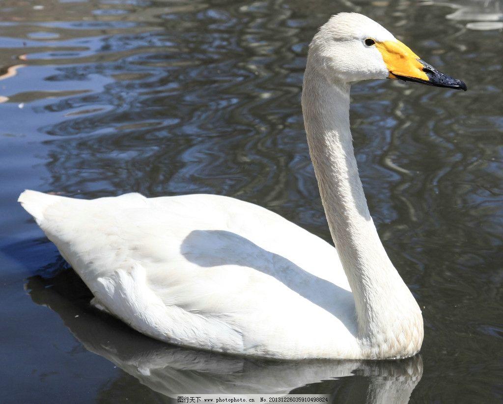水上的鸭子图片