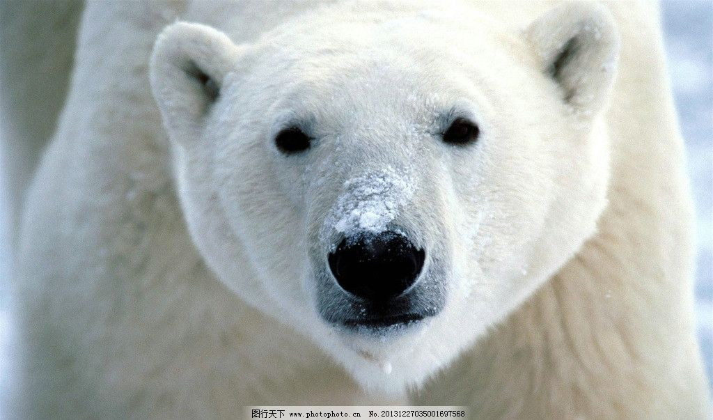 北极熊 冰雪 冰山 冰川 北极圈 南极 野生 动物 北极动物摄影