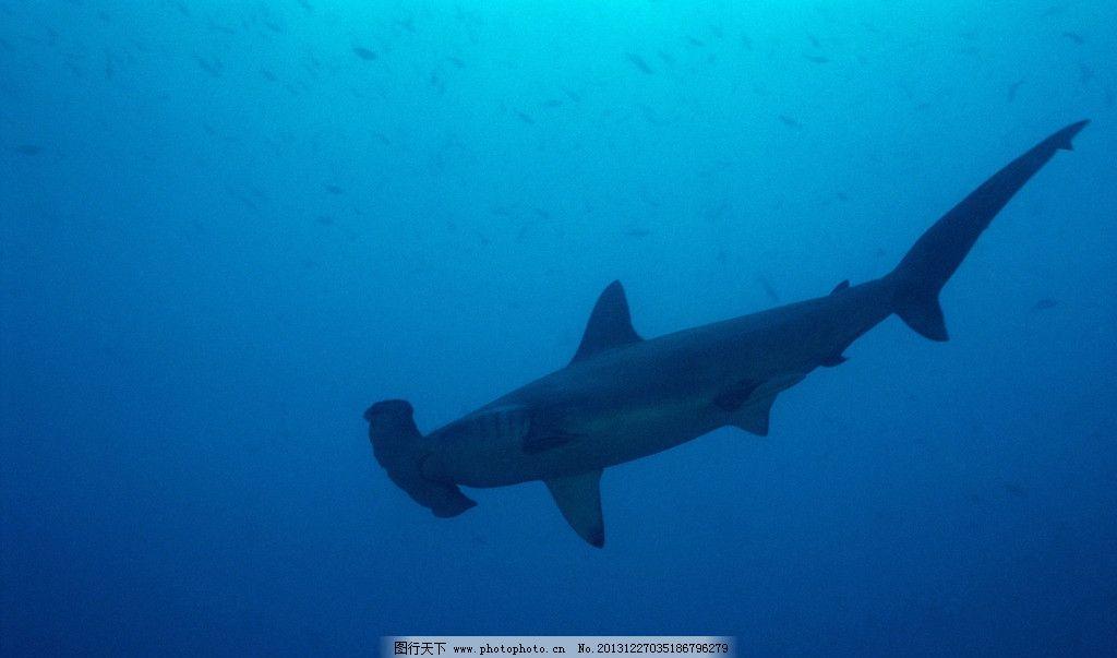 鲨鱼 大海 海洋 野生 动物 濒危动物 物种保护 双髻鲨 摄影