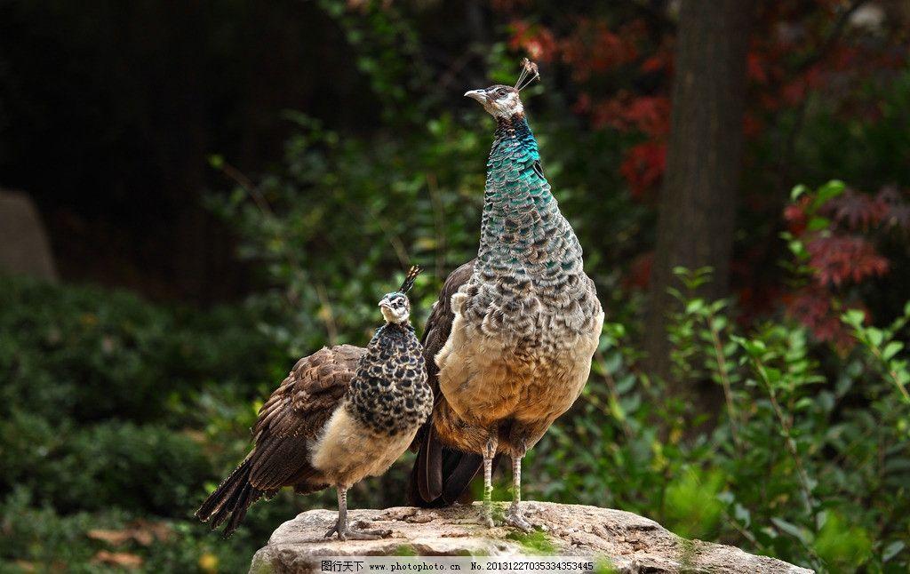 孔雀 动物 鸟 摄影 生物 警觉 雌孔雀 雄孔雀 鸟类 生物世界 350dpi