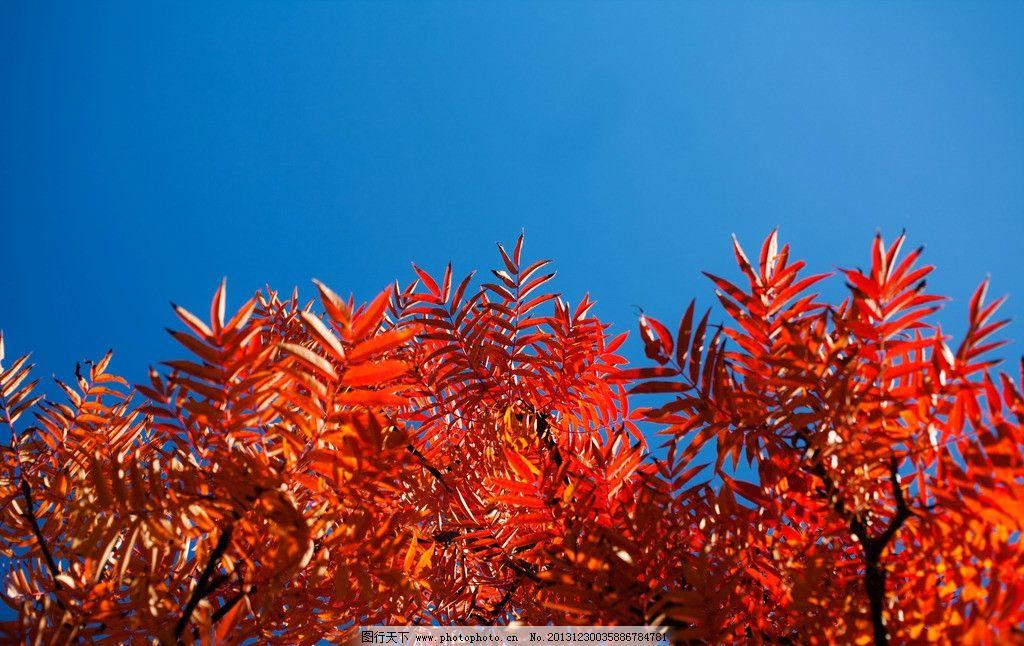 红叶 枫树 秋天风景 秋季风景 高清 摄影